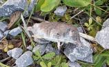 New wildlife species has moved to County Kildare - but keep the champagne corked