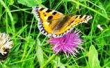 Kildare's Wildlife Watch: A fluttering of spring on the wing once more