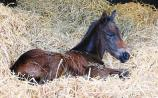 150 new foals at Kildare's National Stud