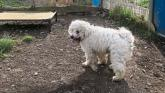 KWWSPCA: A fantastic glow-up for bichon frise Curley