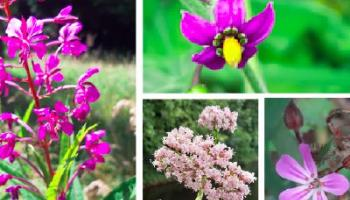 Kildare's Wildlife Watch: The wildflowers of Rathangan's River Slate