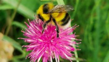KILDARE WILDLIFE COLUMN: Tracking the flight of Lullymore bumblebees