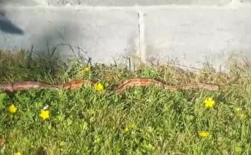 WATCH: Shock as snake found in Naas garden