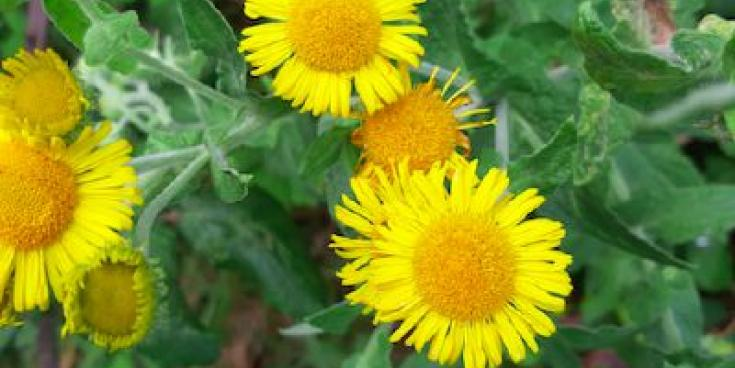 Kildare's Wildlife Watch: The pretty plant that can smoke out fleas!