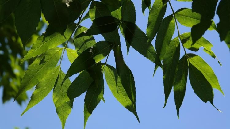 Ash dieback - progress in search for tolerant species